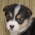 ブリーダー 子犬販売の専門店 AngelWan コーギー