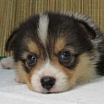 子犬販売の専門店 AngelWan ブリーダー ペットショップ 横浜
