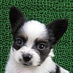 子犬販売の専門店 AngelWan 横浜 ブリーダー パピヨン