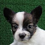子犬販売の専門店 AngelWan 横浜 パピヨン