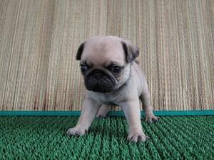 ブリーダー 子犬販売の専門店 AngelWan パグ 神奈川県 横浜市