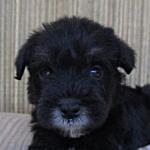 ミニチュアシュナウザー ブリーダー 子犬販売の専門店AngelWan