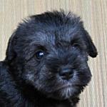 ミニチュアシュナウザー 子犬販売の専門店 AngelWan ブリーダー