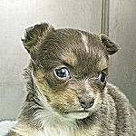 ブリーダー 子犬販売の専門店 AngelWan 神奈川県 チワワ