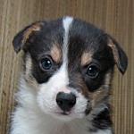 コーギー ブリーダー 子犬販売の専門店 AngelWan コーギー