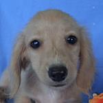 子犬販売の専門店 AngelWan ブリーダー 横浜 カニンヘンダックス