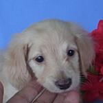 ブリーダー 子犬販売の専門店 AngelWan ペットショップ 全国発送 カニヘン