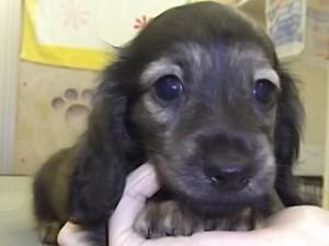 カニーンヘンダックスフンド ブリーダー 子犬販売の専門店 AngelWan 横浜 全国