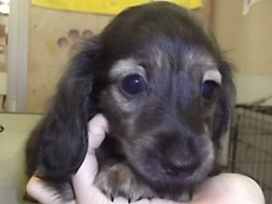カニーンヘンダックスフンド ブリーダー 子犬販売の専門店 AngelWan 横浜