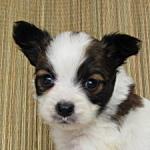 ブリーダー 子犬販売の専門店 AngelWan パピヨン