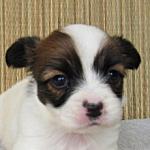 ブリーダー 子犬販売の専門店 AngelWan 横浜 パピヨン