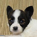 ブリーダー 子犬販売の専門店 AngelWan ペットショップ