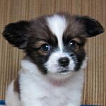 ブリーダー 子犬販売の専門店 AngelWan パピヨン 白茶 オス