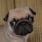 パグ ブリーダー 子犬販売の専門店 AngelWan