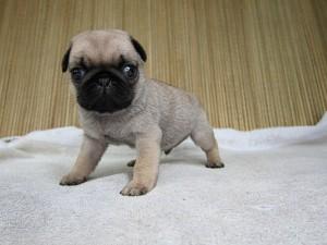 ブリーダー 子犬販売の専門店 AngelWan パグ フォーン 神奈川県 全国発送