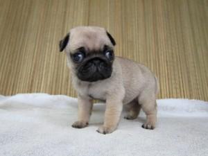 ブリーダー 子犬販売の専門店 AngelWan パグ BUHI ぶさかわ