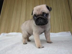 ブリーダー 子犬販売の専門店 AngelWan パグ 全国発送可能