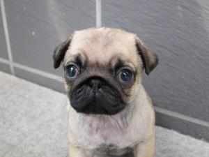 パグ ブリーダー 子犬販売の専門店 AngelWan 横浜 全国発送可能