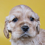 アメリカンコッカースパニエル ブリーダー 子犬販売の専門店 AngelWan