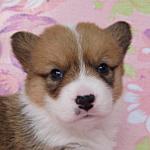 ウェルシュコーギーペンブローク ブリーダー 子犬販売の専門店 AngelWan