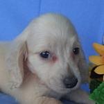 カニヘンダックスフンド ブリーダー 子犬販売の専門店 AngelWan 横浜