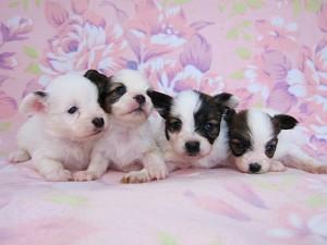 パピヨン ブリーダー 子犬販売の専門店 AngelWan 横浜市 戸塚区 泉区