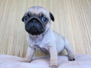 パグ ブリーダー 子犬販売の専門店 AngelWan 横浜 PUG 小型犬