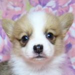ウェルシュコーギーペンブローク ブリーダー 子犬販売の専門店 AngelWan 横浜