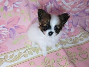 パピヨン ブリーダー 子犬販売の専門店 AngelWan ネット販売 クリスマス