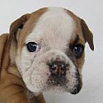 ブルドッグ ブリーダー 子犬販売の専門店 AngelWan 横浜