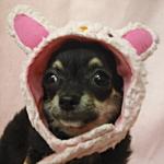 チワワ ロングコート ブリーダー 子犬販売の専門店 AngelWan 横浜