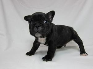 フレンチブルドッグ ブリーダー 子犬販売の専門店 AngelWan 横浜 小型犬