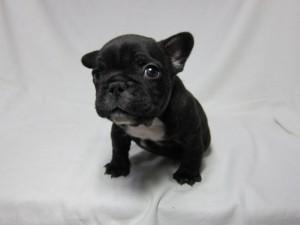 フレンチブルドッグ ブリーダー 子犬販売の専門店 AngelWan オス ブリンドル