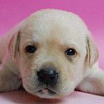 ラブラドールリトリバー ブリーダー 子犬販売の専門店 AngelWan 横浜