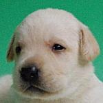 ラブラドールレトリバー ブリーダー 子犬販売の専門店 AngelWan 横浜