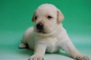 ラブラドールリトリバー ブリーダー 子犬販売の専門店 AngelWan ペットショップ