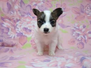 パピヨン ブリーダー 子犬販売の専門店 AngelWan 神奈川県 静岡県 山梨県