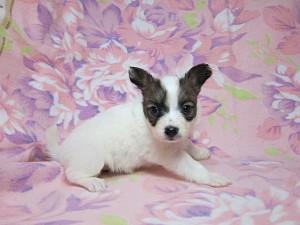 パピヨン ブリーダー 子犬販売の専門店 AngelWan 横浜市 戸塚区 瀬谷区