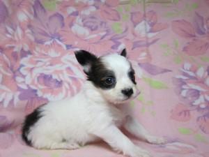 パピヨン ブリーダー 子犬販売の専門店 AngelWan 横浜 室内犬 小ぶり