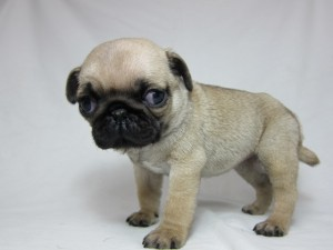 パグ ブリーダー 子犬販売の専門店 AngelWan 関東 全国お届け ペットショップ