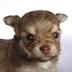 チワワ ブリーダー 子犬販売の専門店 AngelWan 横浜 チョコフォーン