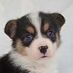 ウェルシュコーギーペンブローク ぶりーだー子犬販売の専門店 AngelWan 横浜