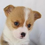 ウェルシュ・コーギー・ペンブローク ブリーダー 子犬販売の専門店 AngelWan 横浜