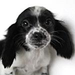 ミニチュアダックスフンド ブリーダー 子犬販売専門店 AngelWan 横浜