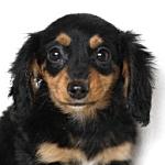 ミニチュアダックスフンド ブリーダー 子犬販売の専門店 AngelWan ブラック&タン