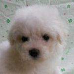ビション・フリーゼ ブリーダー 子犬販売の専門店 AngelWan 横浜