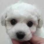 ビションフリーゼ 子犬販売の専門店 AngelWan 横浜