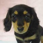 カニンヘンダックスフンド ブリーダー 子犬販売の専門店 AngelWan 横浜