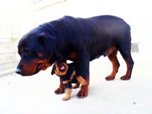 ロットワイラー ブリーダー 子犬販売の専門店 AngelWan 全国発送可能 空輸