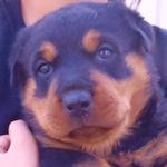 ロットワイラー ブリーダー 子犬販売の専門店 AngelWan 横浜